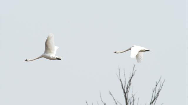 zwei swan - schwan stock-videos und b-roll-filmmaterial