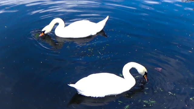 two swans eat leaves - ghat filmów i materiałów b-roll