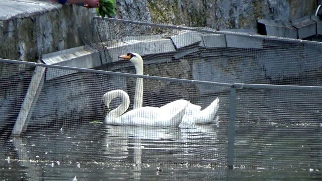 two swans feeding from the hands - ghat filmów i materiałów b-roll