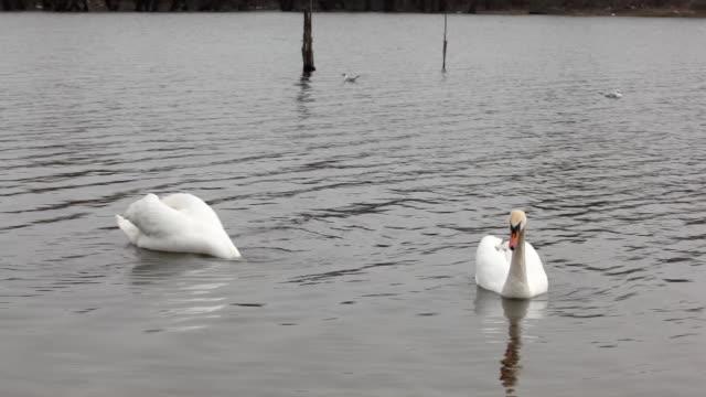 two swans on lake - djurlem bildbanksvideor och videomaterial från bakom kulisserna