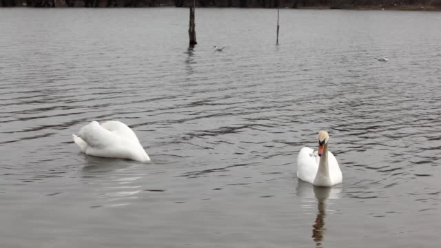 Two swans on lake Two swans swimming on lake animal limb stock videos & royalty-free footage