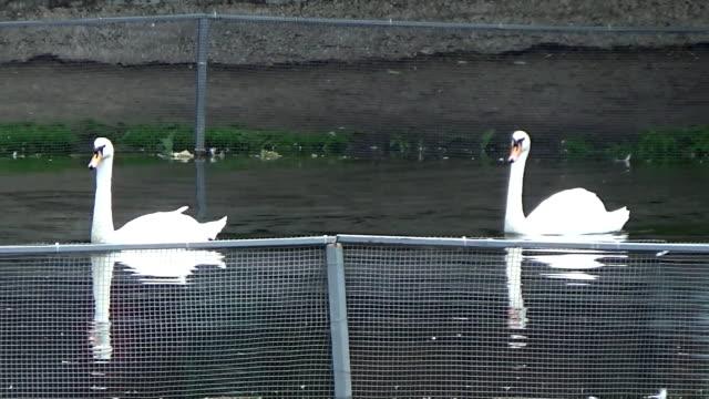 two swans swim along the fence - ghat filmów i materiałów b-roll