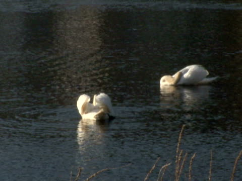 due swans  - uccello acquatico video stock e b–roll