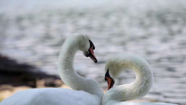 two swans  - schwan stock-videos und b-roll-filmmaterial