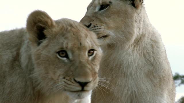 zwei goldbraun lions mit ihren weißen geschwister - bedrohte tierart stock-videos und b-roll-filmmaterial