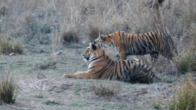 two tiger cubs hunting together at tadoba in india- 4K 60p