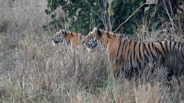 två tiger ungar stalking en gaur på tadoba tiger reserv i indien-4k 60p - tiger bildbanksvideor och videomaterial från bakom kulisserna