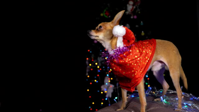 Two Toy Terrier is a yellow New Year's dog. video