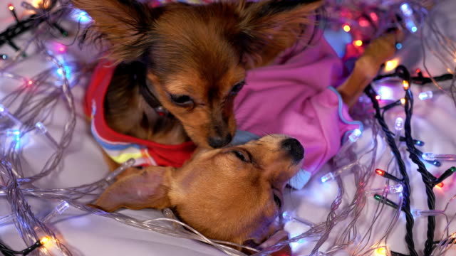 two toy terrier is a yellow new year's dog. - terrier video stock e b–roll
