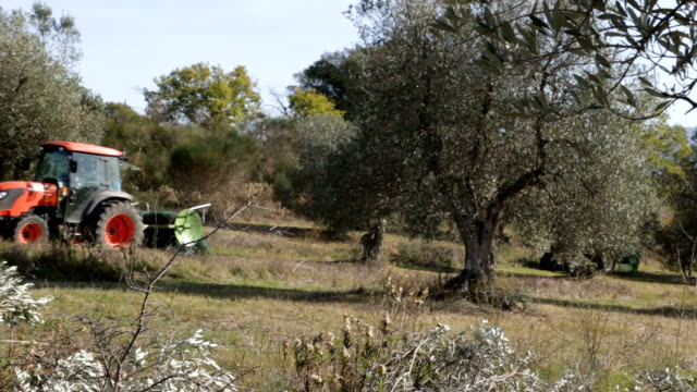 Two Tractors Pass Through A Field Of Olive Trees video