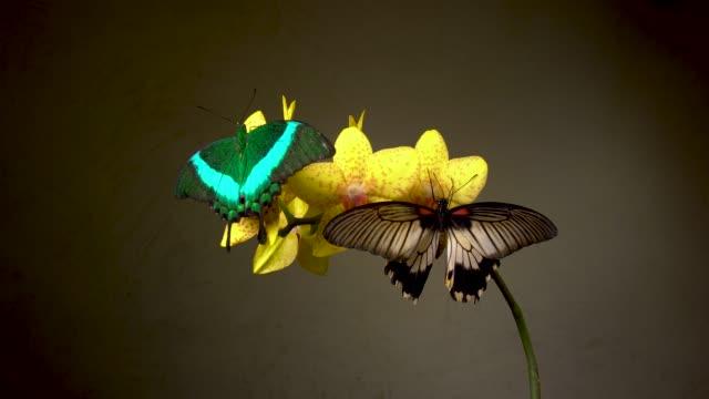 två tropiska fjärilar på en blomma - djurkroppsdel bildbanksvideor och videomaterial från bakom kulisserna