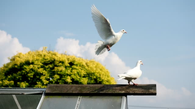 two turtle doves on the roof - slow motion - colombaccio video stock e b–roll