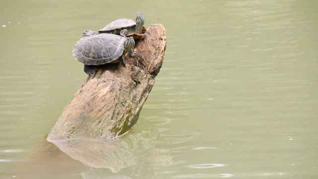 Two turtle perched on a tree stump. Turtle or two, which is perched on a tree stump and then another one to jump into the water. tortoise stock videos & royalty-free footage