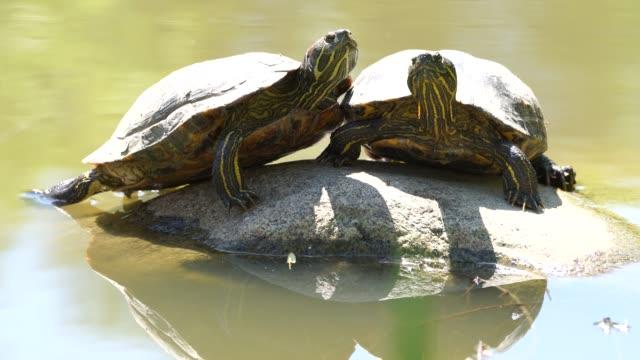 Two turtles basking on the rocks