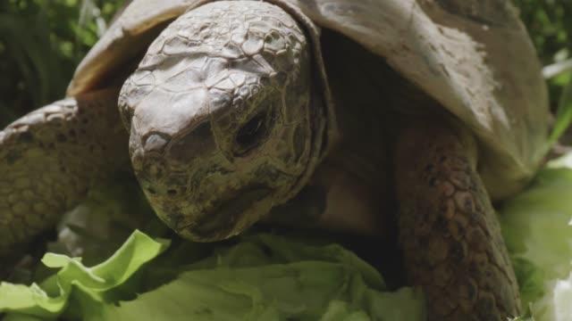 two turtles eating lettuce - żółw lądowy filmów i materiałów b-roll