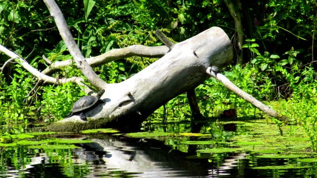 Two turtles sitting on a log in the river video