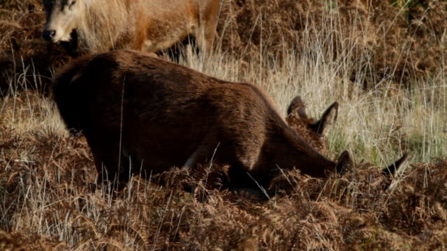 Red deer hind chewing with stag in background HD video video