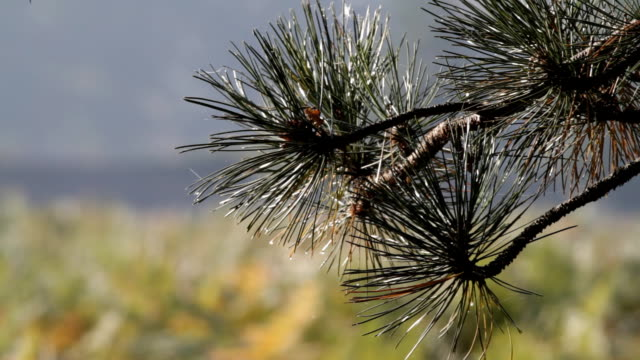 Southern English landscapes Scots pine and oak tree HD video video