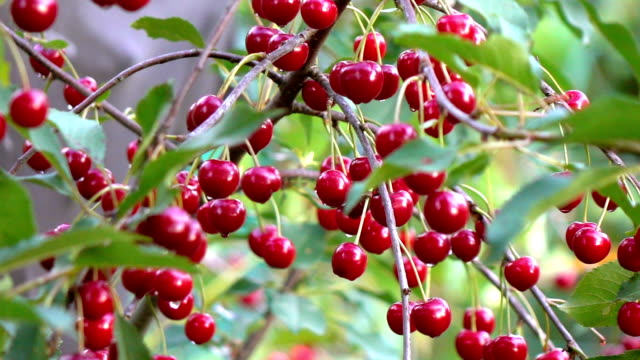 Two videos of cherry tree in real slow motion Two high quality videos cherry tree in real 1080p slow motion 250fps cherry stock videos & royalty-free footage