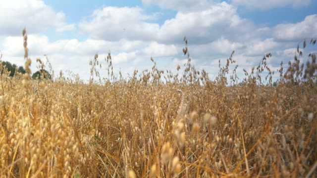 Two videos of oat field in 4K-professional electronic slider video