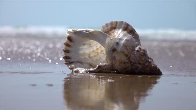 vídeos de stock e filmes b-roll de two videos of shells by the ocean-real slow motion - bugio