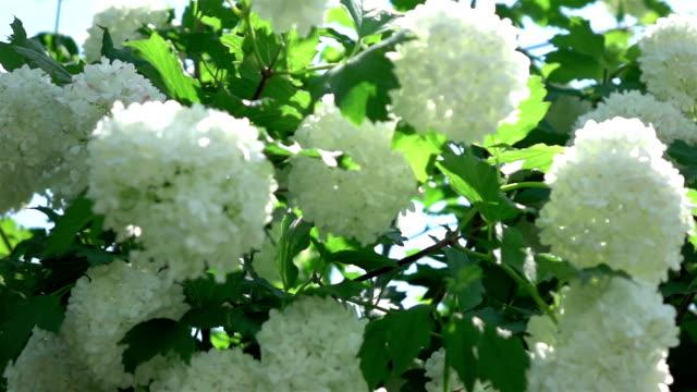 zwei videos weiße hortensie in echt zeitlupe - hortensie stock-videos und b-roll-filmmaterial