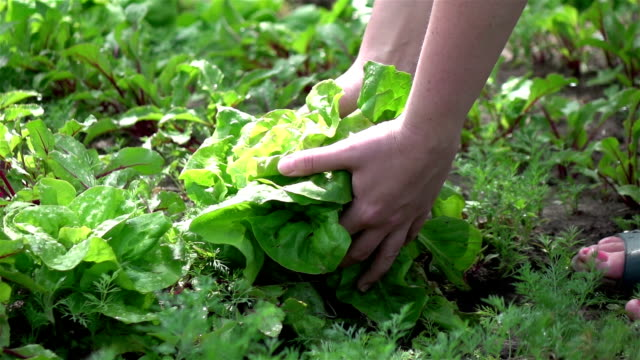Two videos of woman picking lettuce in real slow motion video