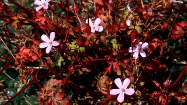 Herb Robert Geranium robertianum HD video video