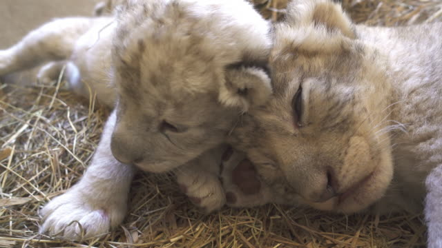 two week old baby lion video
