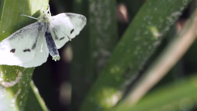 Two White Butterflies Mating on Native Grasses Horizontal video of a male and a female white butterfly with black markings, mating in a clump of native Lomandra Grass on coastal nsw sand dunes. The male butterfly flies around trying to attach to the female who waits with her  body curved for the male. arthropod stock videos & royalty-free footage