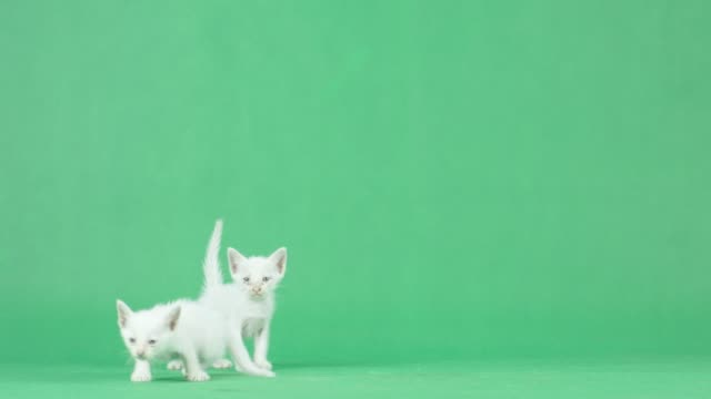 4K Two White Kitten on a green screen Shot on RED dragon animal body stock videos & royalty-free footage