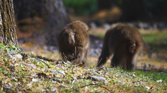 i̇ki vahşi japon makak bitki yaprakları besleme - japon makak maymunu stok videoları ve detay görüntü çekimi