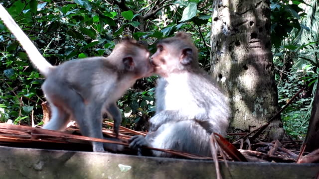 Two Wild Macaque Monkeys (Macaca fascicularis) Kissing video