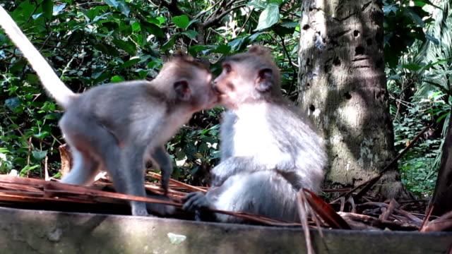 Dos salvajes monos macacos (Macaca fascicularis) besos - vídeo