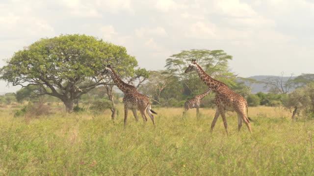 close up: zwei wilde männliche giraffen zu fuß über üppige savannah grünland feld - afrikareise stock-videos und b-roll-filmmaterial