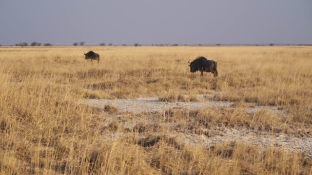Two Wildebeest Walking Across Dry Savanna in Makgadikgadi Pan, Botswana - Horizontal Pan Two Wildebeest Walking Across Dry, Golden Savanna in Makgadikgadi Pan National Park, Botswana, Africa - Horizontal Pan makgadikgadi pans national park stock videos & royalty-free footage