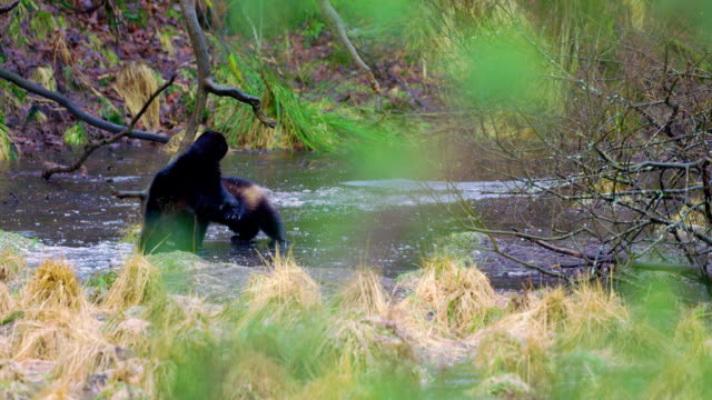 Two wolverine animals play on frozen water in the woods video