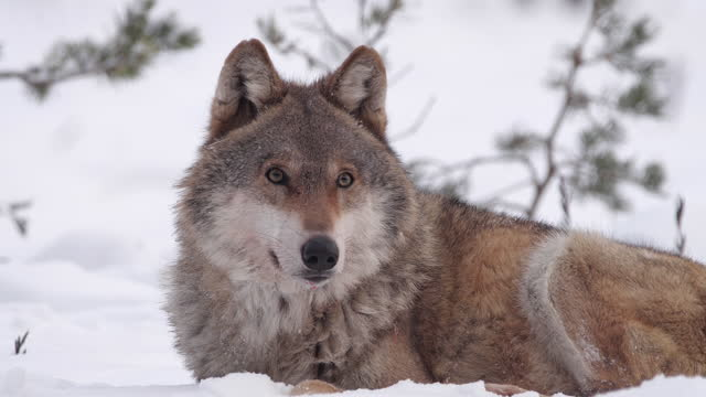 Two wolves - and dead red deer, running in the snow and winter forest, Belarus Couple of wolves and its victim, eating dead red deer, running in the snow in the winter forest, captured in Belarus belarus stock videos & royalty-free footage