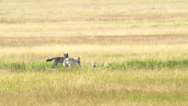 two wolves feed on an elk carcass in yellowstone - lupo video stock e b–roll