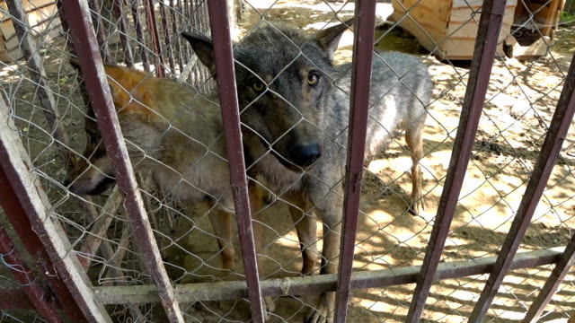 Two wolves look hungry eyes in cage, in the zoo