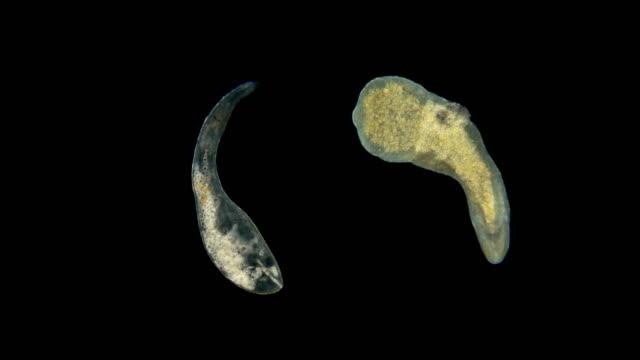 vídeos y material grabado en eventos de stock de dos gusanos bajo el microscopio - bacteria