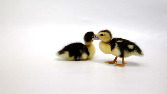 Two yellow and black ducklings video