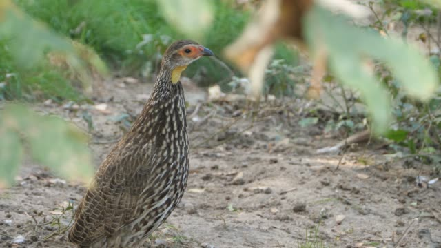 Two Yellow-necked Francolin video