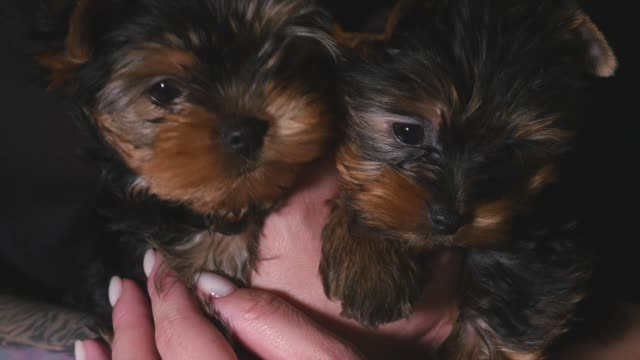 Two yorkshire puppies in a hand