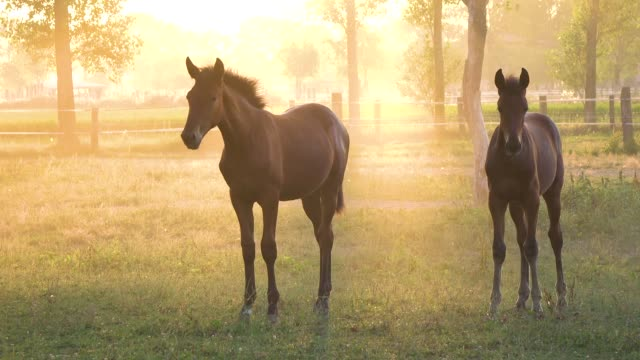 close up: two young chestnut horses stand still in a picturesque green meadow. - cavalla video stock e b–roll