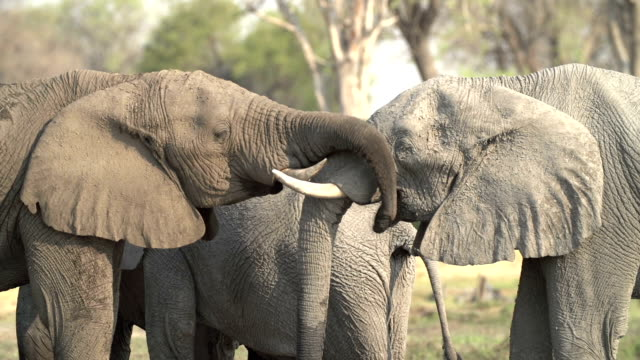 Two young elephant bulls meeting and greeting,Botswana video