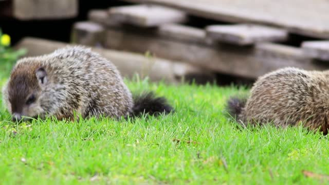 Two young groundhogs eating grass near shed pan left to single groundhog Young Groundhogs, Marmota monax, eating grass near shed in spring groundhog day stock videos & royalty-free footage