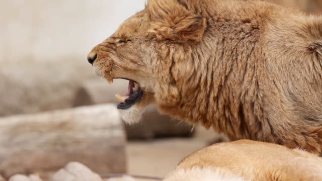 due giovani lions accoppiamento. - animale femmina video stock e b–roll