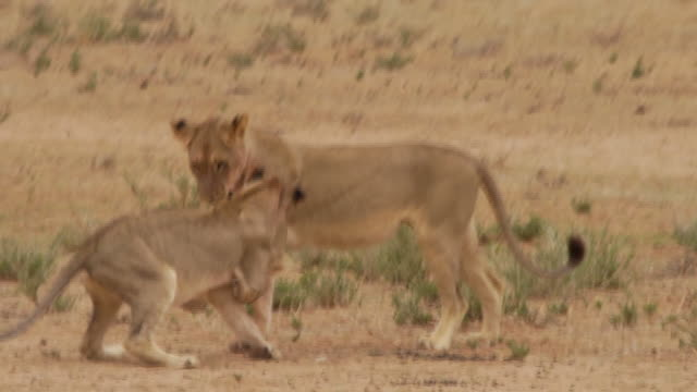 Two young Lions playing together Two small Lions playing in the Kalahari Desert namibia stock videos & royalty-free footage
