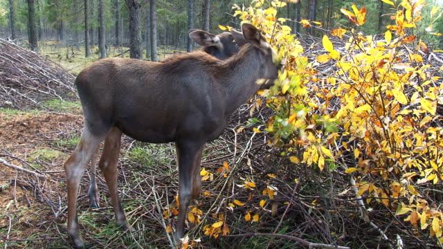 zwei junge moose-eating - elch stock-videos und b-roll-filmmaterial